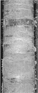 S6Paper Birch